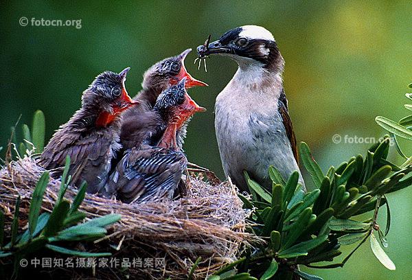 小动物简笔画大全 鸟窝里的小鸟